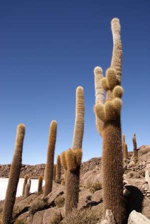 Isla del Pescado, Salar de Uyuni, Bolivia Stock Photo - 11266418