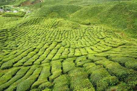 tea plantation, cameron highlands, malaysia photo