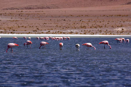Laguna celeste, Flamingos, Bolivia photo