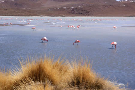 Laguna celeste, Flamingos, Bolivia Stock Photo - 11421340