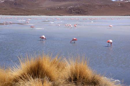 Laguna celeste, Flamingos, Bolivia Stock Photo - 11421340