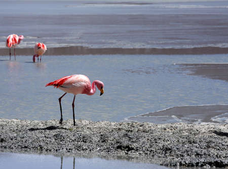 Flamingos on lake, Bolivia Stock Photo - 11421606