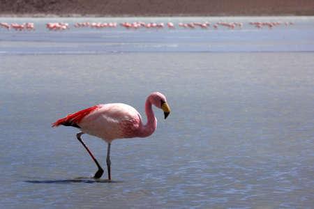 Flamingos on lake, Bolivia photo