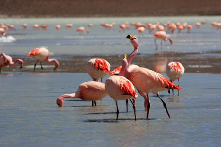 Flamingos on lake, Bolivia photo
