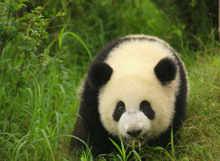 species: Panda, Chengdu, Sichuan, China