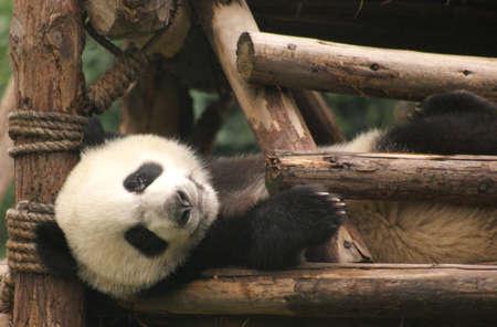 Panda, Chengdu, Sichuan, China photo