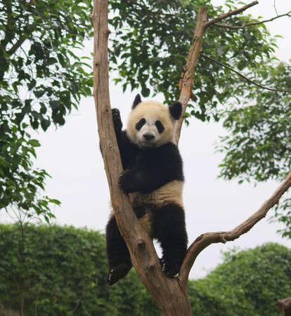 Panda, Chengdu, Sichuan, China photo