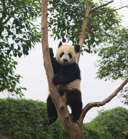oso panda: Panda de Chengdu, Sichuan, China