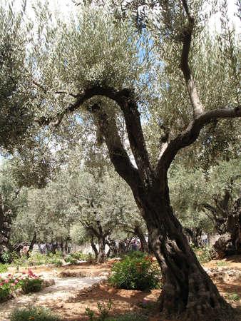 bosquet: Olive Garden en Jerusal�n, Israel
