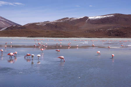 Laguna celeste in atacama desert, Flamingos, Bolivia Stock Photo - 11994635