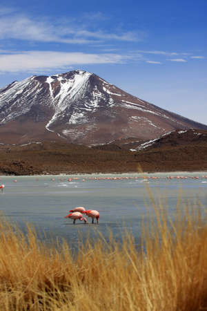 Flamingos on lake, the southern part of Bolivia photo