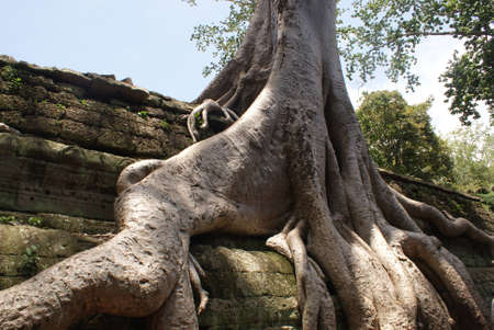 Ancient Ta prohn temple in Angkor, silk-cotton tree consumes the ancient ruins in Cambodia Stock Photo - 13997797