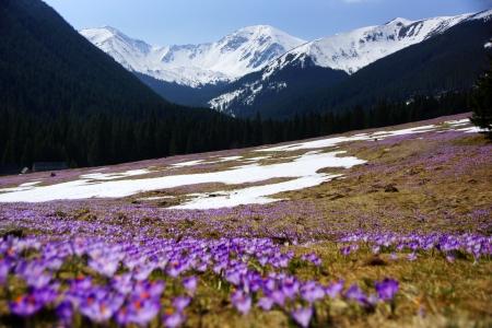 Crocuses in Chocholowska valley, Tatras Mountain in Poland photo