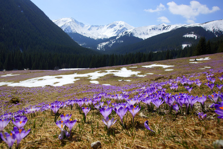 Crocuses in Chocholowska valley, Tatra Mountains in Poland photo