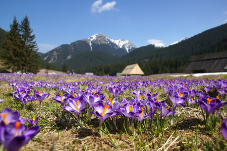 Crocuses in Chocholowska valley, Tatra Mountain in Poland photo