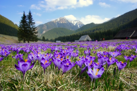 Crocuses in Chocholowska valley, Tatra Mountains in Poland