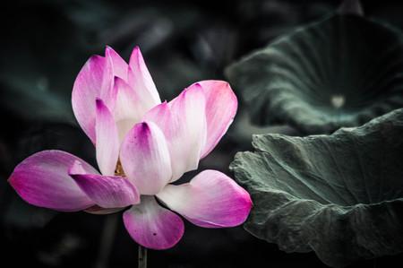 leaf logo: Flower lotus natural