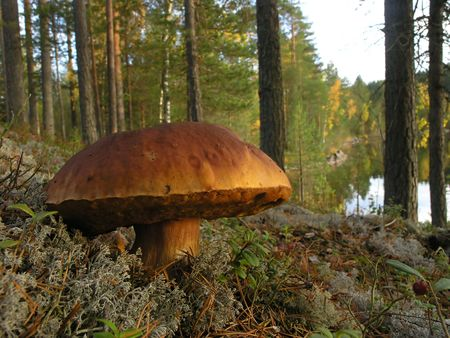 national forest: big fungus (boletus sp.) in the finnish taiga