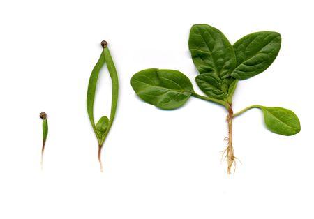 etapas de crecimiento de una planta de espinaca aisladas en blanco Foto de archivo - 3687525