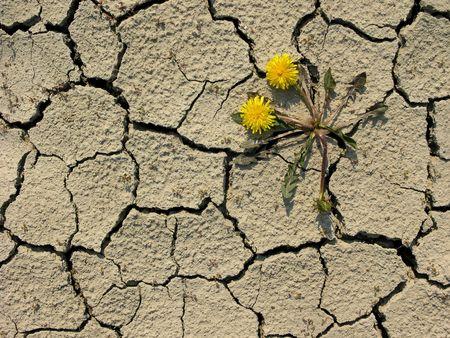 grown up: taraxacum flower grown up on dry ground