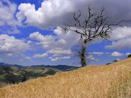 ripen: dead oak tree and ripen wheat field Stock Photo