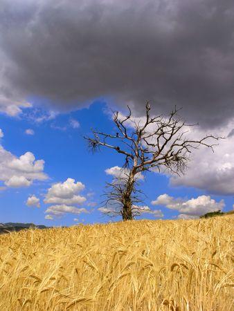 ripen: a death oak tree in a ripen wheat field