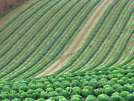 field of cabbages, italian countryside Stock Photo - 3971458