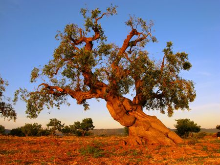 apulia: ancient olive tree, salento, italy Stock Photo