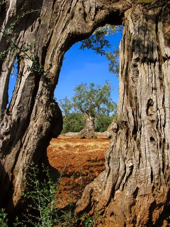 apulia: ancient olive tree trunk