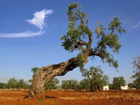 puglia: ancient olive tree, apulia, italy