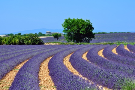 provence: lavender fields, provence, france Stock Photo