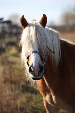 Haflinger horse posing for the camera photo