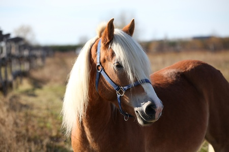 Proud haflinger in a pasture
