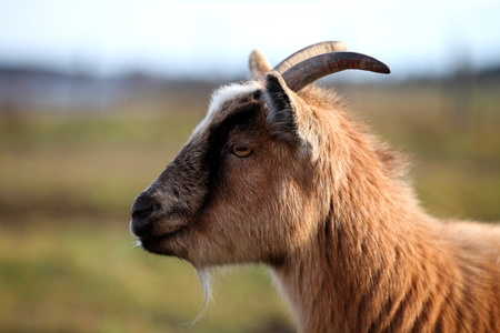 hircus: Goat staring in a pasture on a warm autumn day.