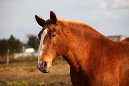 belgian horse: Old belgian horse on a cloudy autumn afternoon. Stock Photo