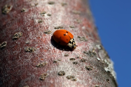 coccinellidae: Ladybug on the bark of an apple tree on a sunny autumn day.  Stock Photo