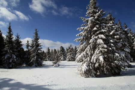 Beautiful snow covered evergreens located in Quebec, Canada  photo