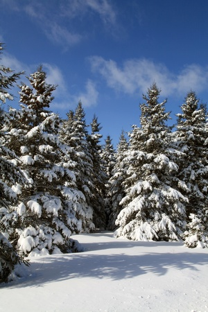 Snow covered evergreens located in Quebec, Canada
