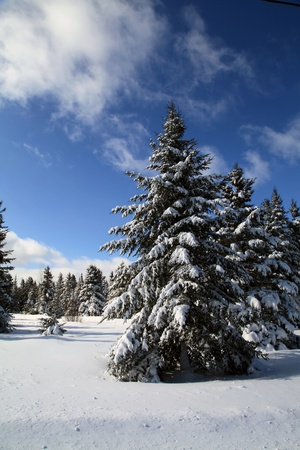 Snow covered spruce trees photo