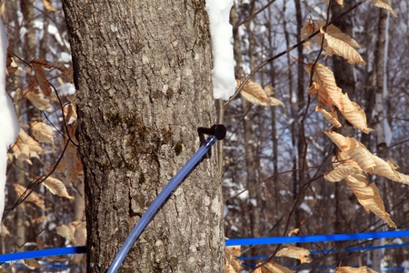 Collecting maple tree sap with plastic taps and tubing