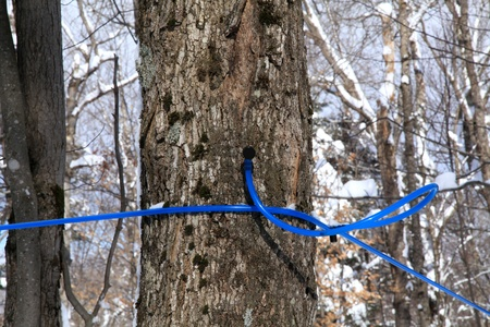 sugar maple: Modern plastic tubing for the collection of maple sap Stock Photo