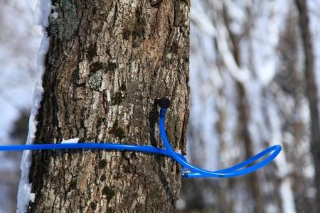メープルの木の樹液を収集するための近代的なプラスチック製の水道 写真素材
