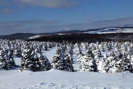 Beautiful cold and sunny morning in a christmas tree plantation located in Quebec, Canada