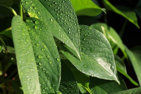 Close-up of pothos houseplant