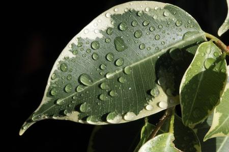 ficus: Close-up of ficus leaf