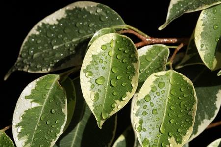 Ficus növényi levelek