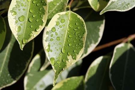 ficus: Ficus plant leaves with drops of water
