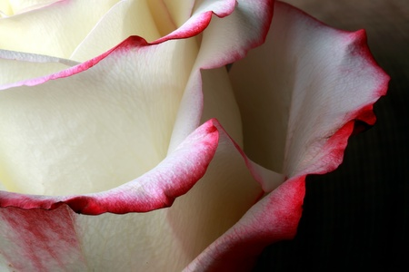 Close up of a a beautiful two colored rose photo