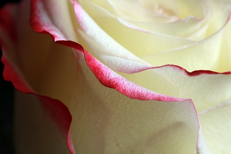 Elegance of a rose photo