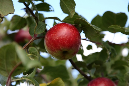 Ripe apples on tree branches ready to be picked Stock Photo - 13185570